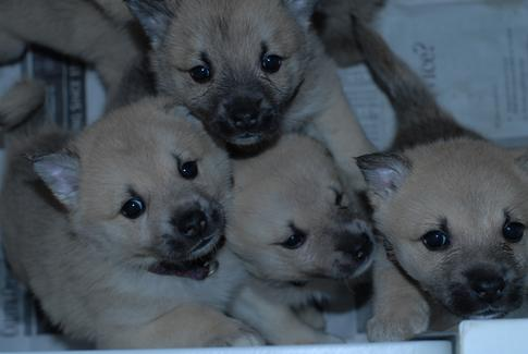 Norsk Puppies